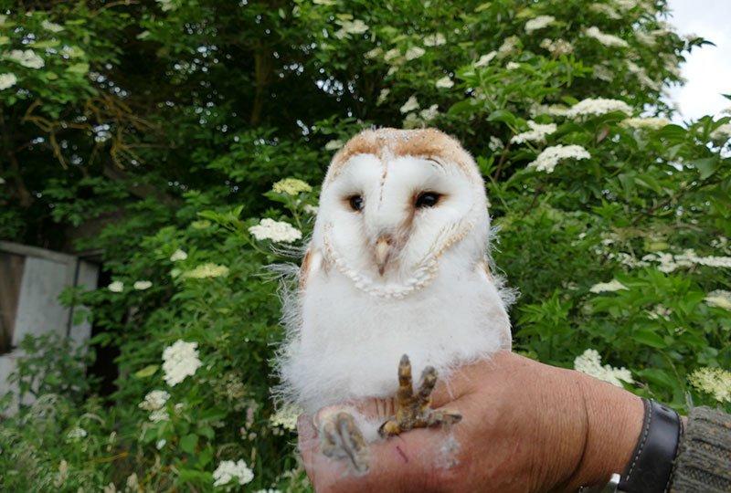 Bramble Island Wildlife Owl